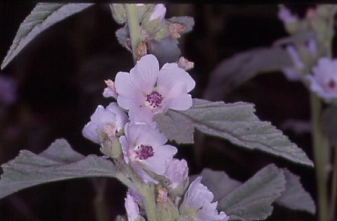 Althaea officinalis 2