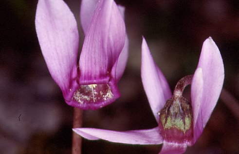 Cyclamen purpurascens 2