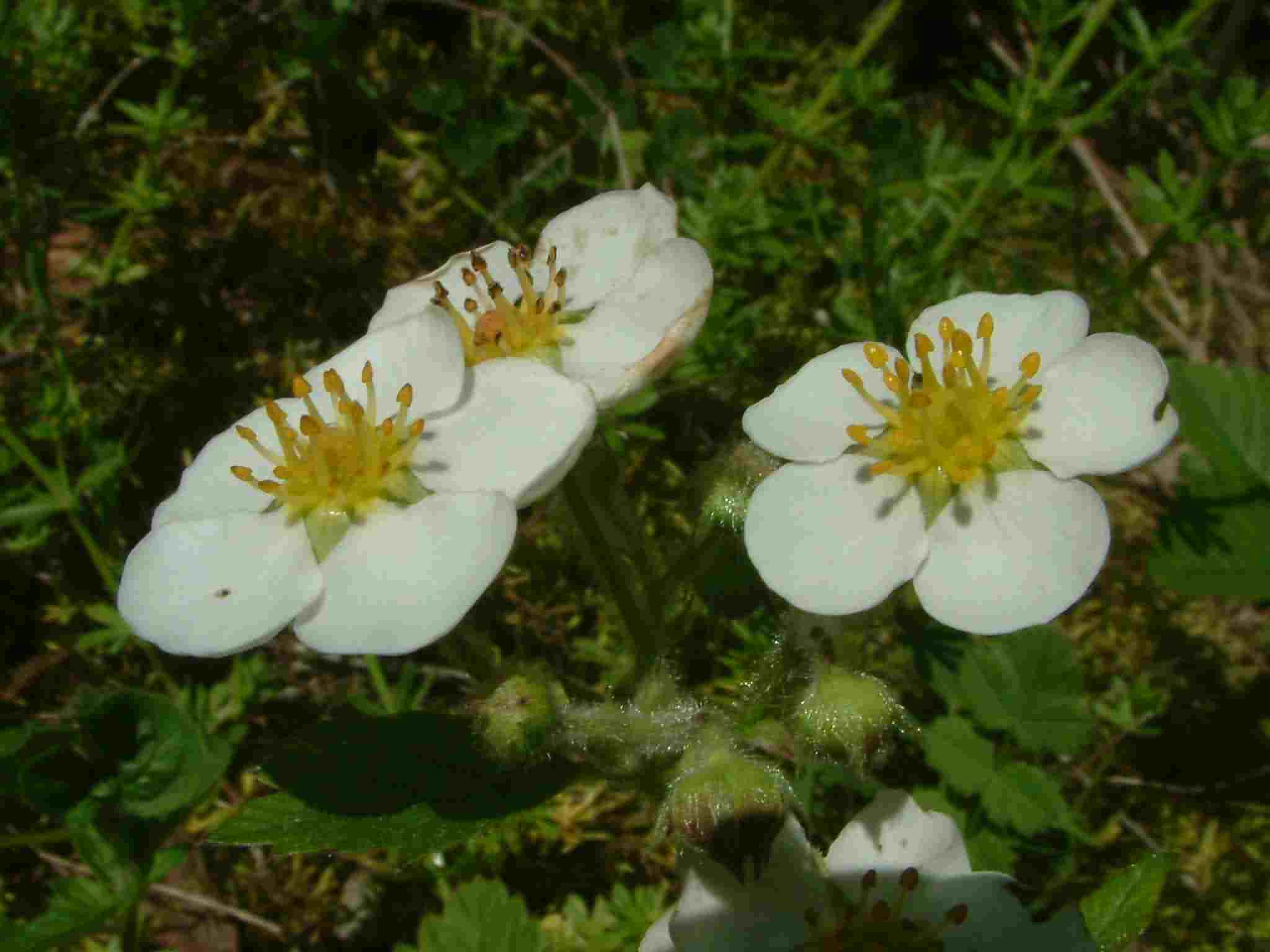 Fragaria moschata 3