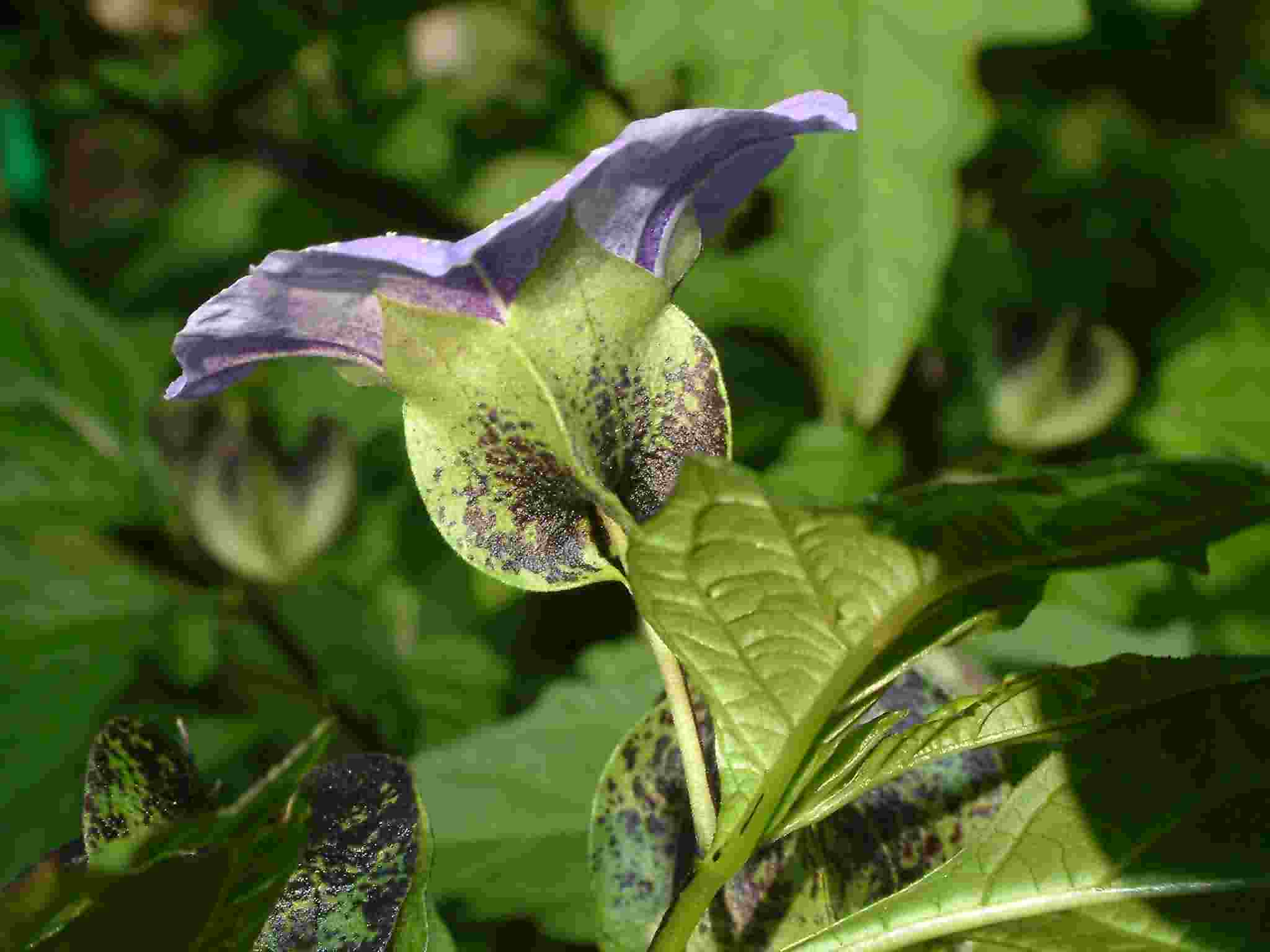 Nicandra physalodes 4