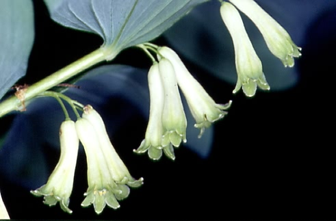 Polygonatum multiflorum 2
