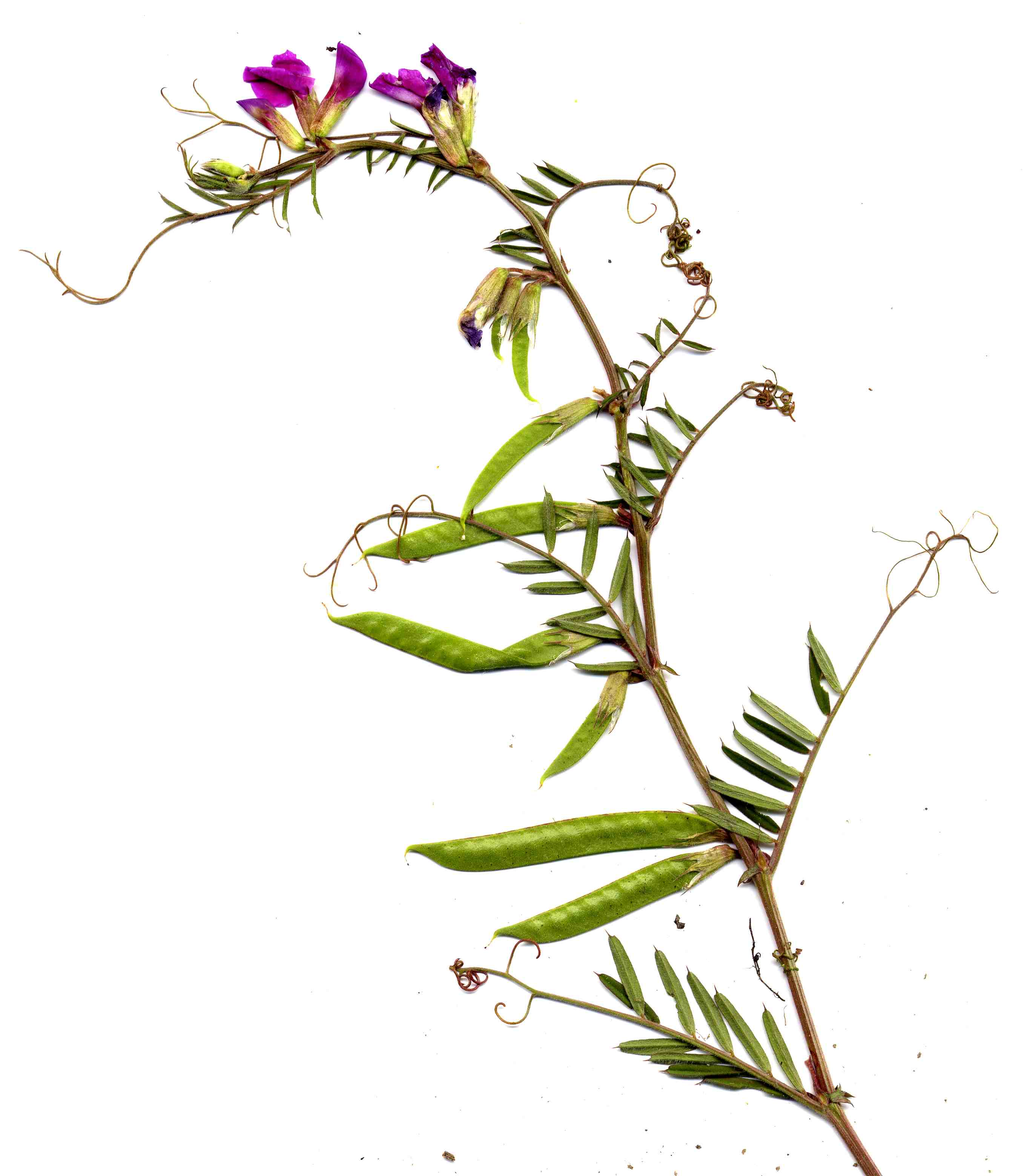 Vicia angustifolia 1